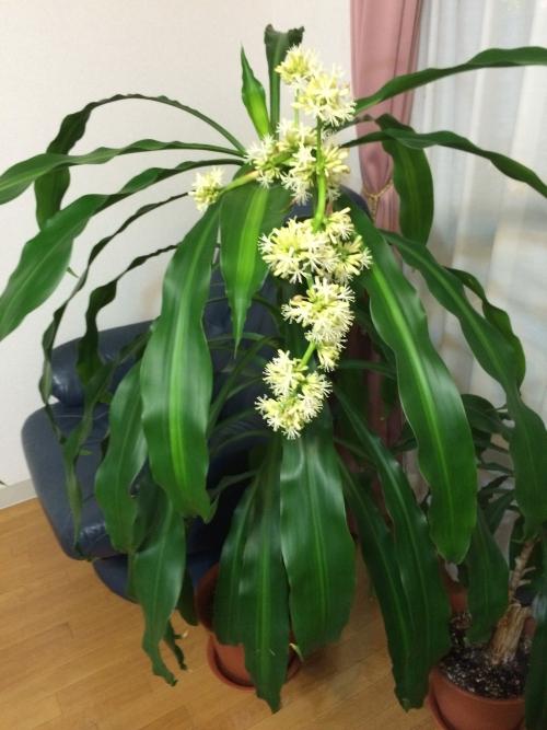 幸福の木の花が咲きました20150118