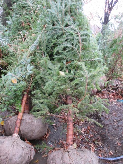 クリスマスには、やっぱりモミの木!