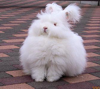 アンゴラウサギのふわふわは......