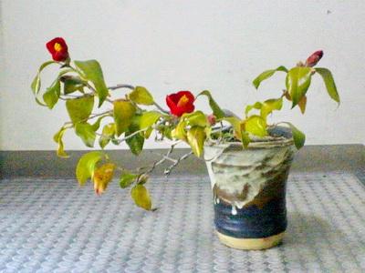 鉢植えの椿が今年も花を付けました。対馬娘という品種です。