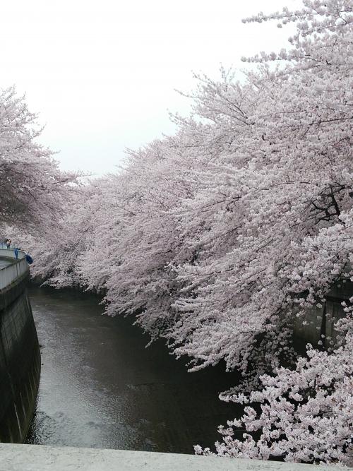 訪問スタッフより  桜