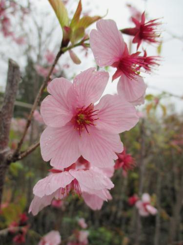 桜の開花リアル実況中!苗木、植木の販売!
