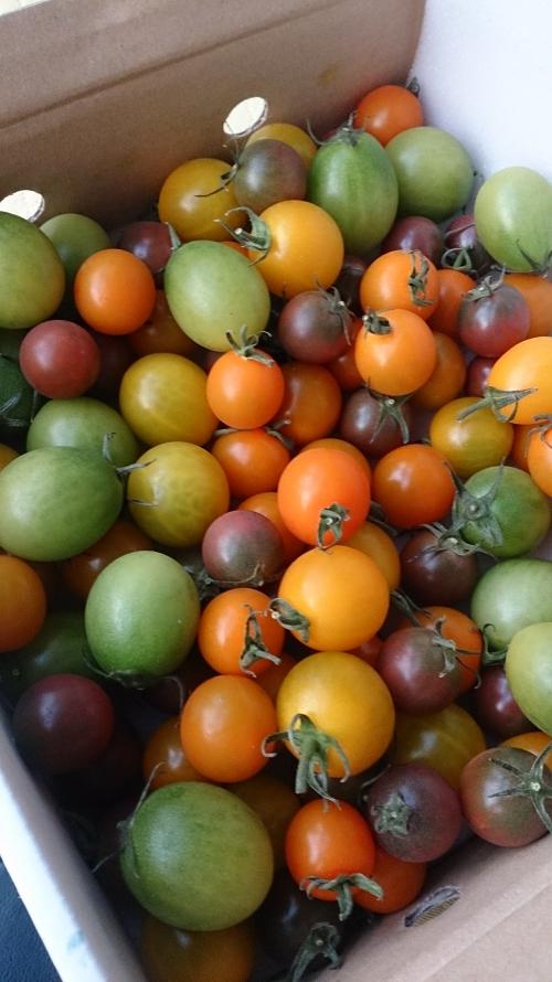 北海道士別のしずお農場より鮮やかなトマト