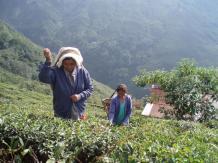 紅茶の産地《ダージリン》