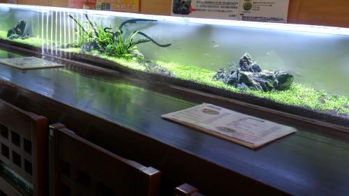 熱帯魚屋やればいいのに!と言われる程の水草水槽に魚が入ったよ