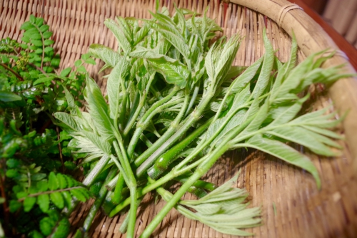 山菜の紹介「ウドの新芽」