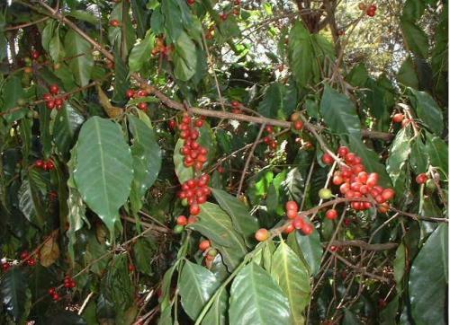 中米地域のコーヒー