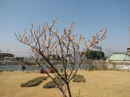 春の花木にとまる鳩・・・詩のような風景(誇大過ぎ!笑)