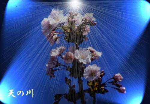 天の川(アマノガワ)!戸建住宅にも桜の楽しみを!