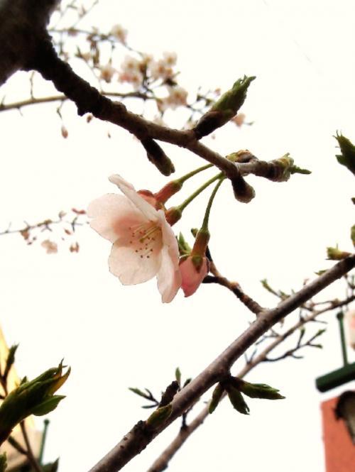 【つぶやき】桜