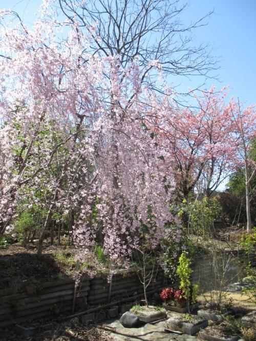 全国の桜開花の声に負けずに!埼玉植物園圃場も開花中!