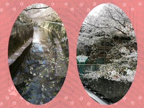 桜の命は はかないと言いますが
