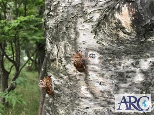 夏といえばセミ!土地の調査で大量発生に発見。※虫の写真有