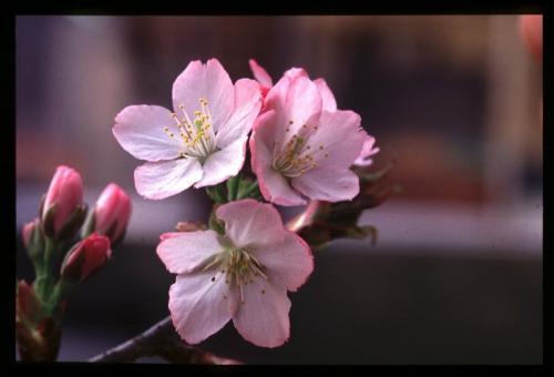 黄色い桜!浅黄、鬱金、御衣黄!桜苗木の販売!
