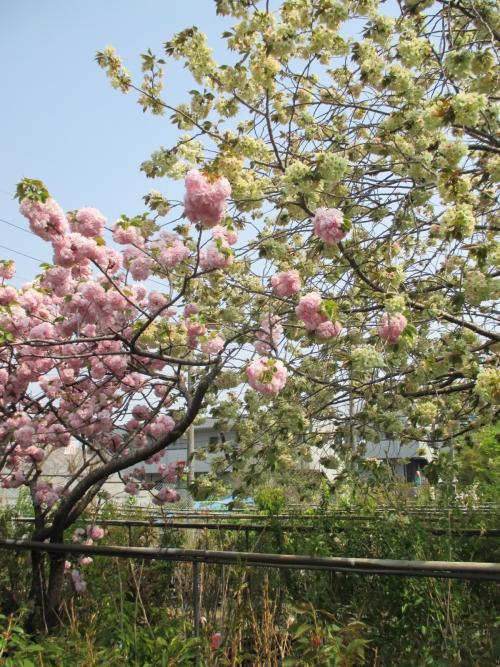 黄色い桜と気高き桜!御衣黄と楊貴妃!桜の販売!