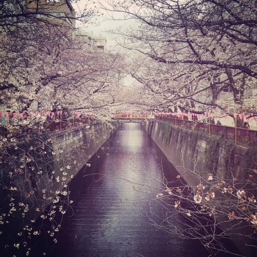 中目黒桜開花♪