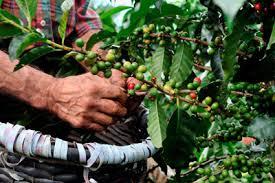 メキシコ のコーヒー