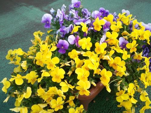 【つぶやき】ビオラの花