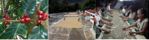 コーヒー栽培においての農薬