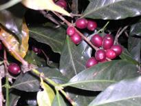 コーヒー発祥の地『エチオピア』