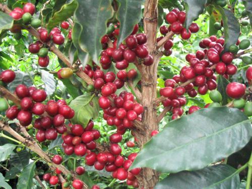 『味わい』を評価するスペシャルティコーヒー
