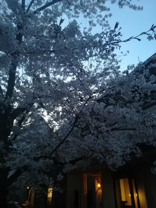 桜が綺麗です