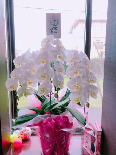 胡蝶蘭がすごい