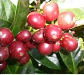 ゲイシャの芳香な香りのパナマコーヒー