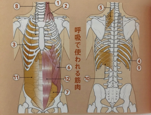呼吸筋の種類について!オリンピア鍼灸整骨院