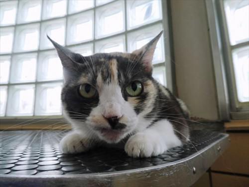 6/24トリミング 和猫、ミックス 動物病院 名古屋市緑区