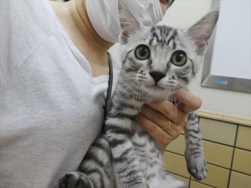6/27ワクチン 和猫、チワワ 動物病院 名古屋市緑区天白区